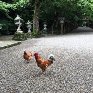(石上神宮境内には鶏が自由に歩き回っています。)
